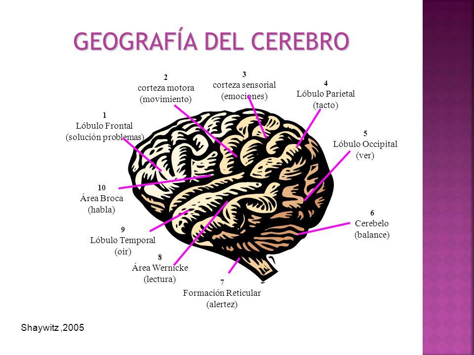 GEOGRAFÍA DEL CEREBRO Shaywitz ,2005 3 corteza sensorial (emociones)