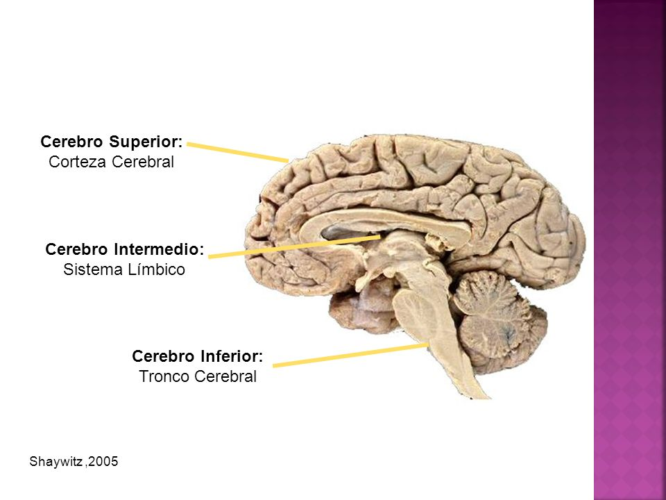 Cerebro Superior: Cerebro Intermedio: Cerebro Inferior: