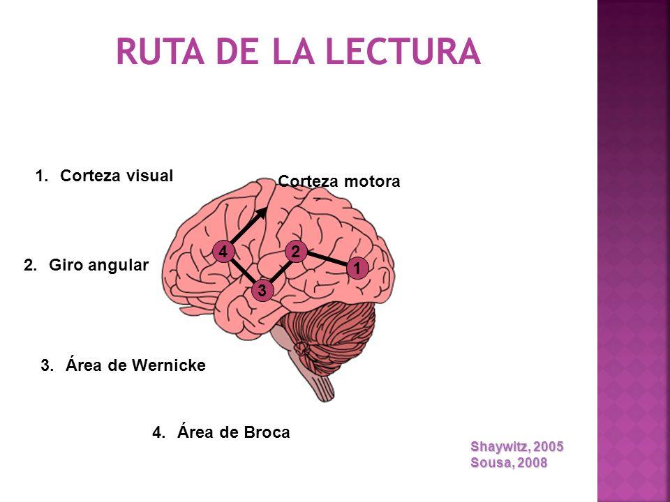 RUTA DE LA LECTURA Corteza visual Corteza motora 4 2 Giro angular 1 3