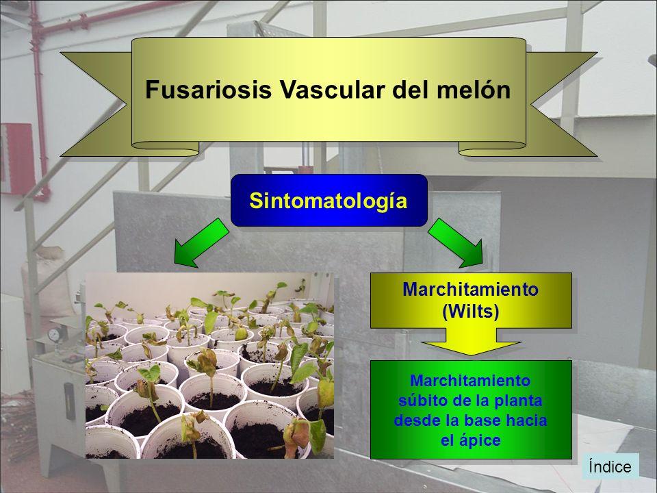 Fusariosis Vascular del melón