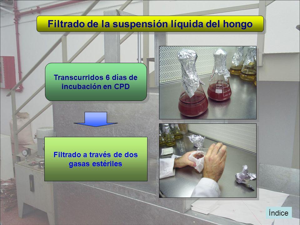 Filtrado de la suspensión líquida del hongo Filtrado a través de dos