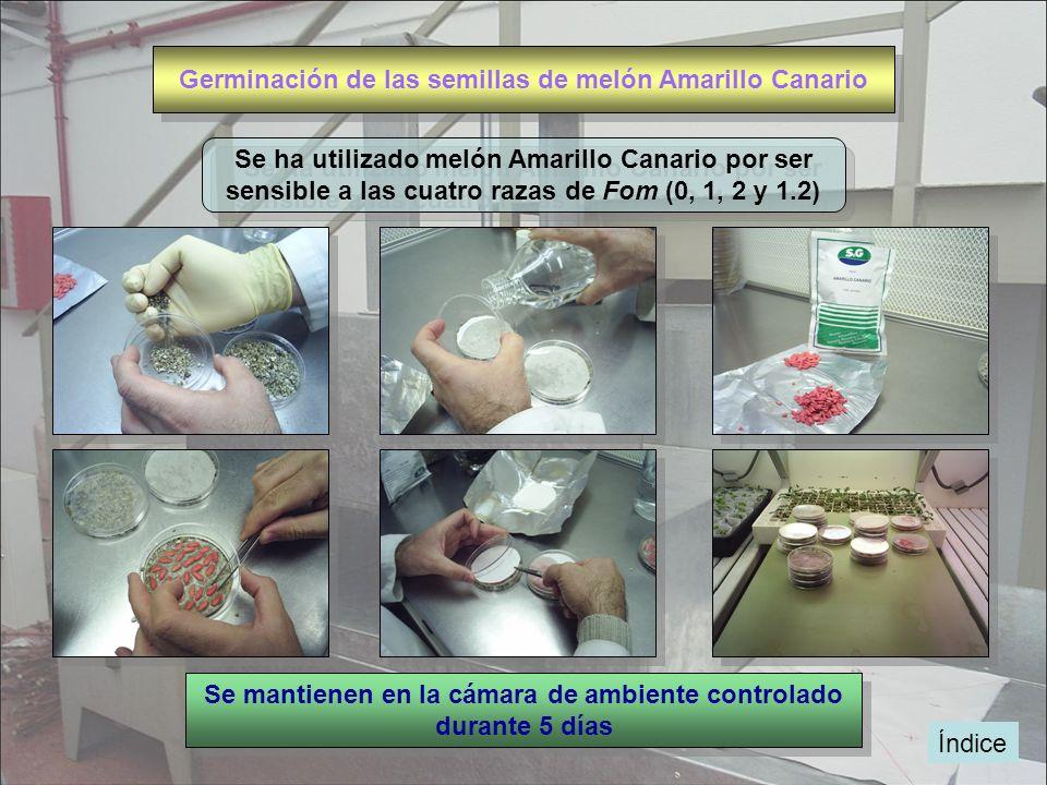 Germinación de las semillas de melón Amarillo Canario