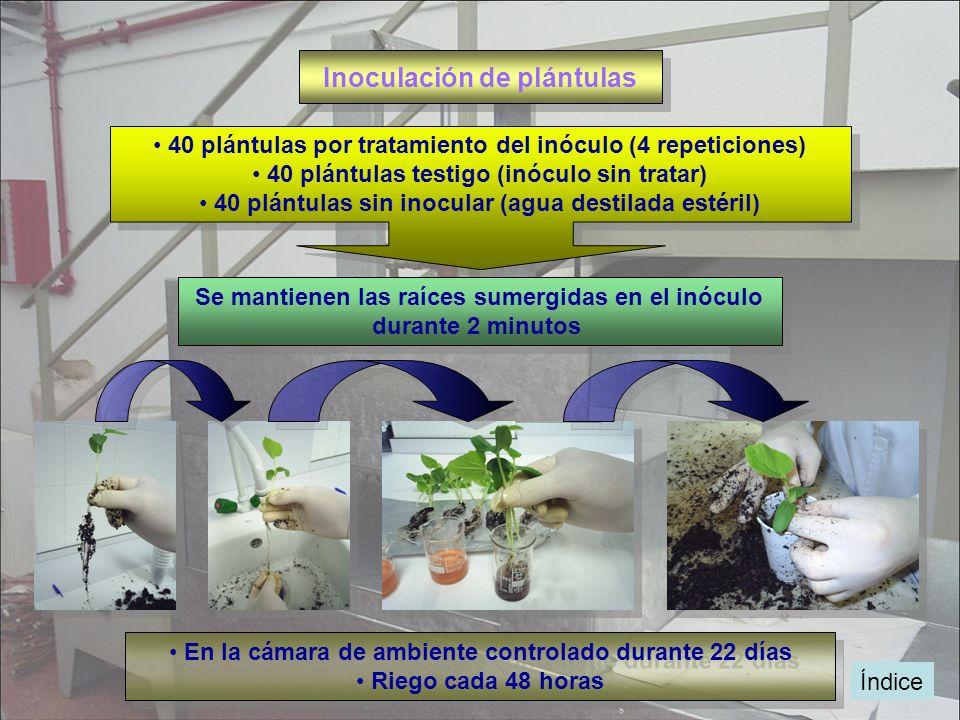 Inoculación de plántulas