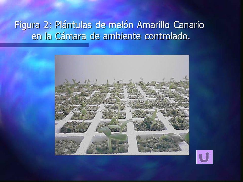 Figura 2: Plántulas de melón Amarillo Canario en la Cámara de ambiente controlado.