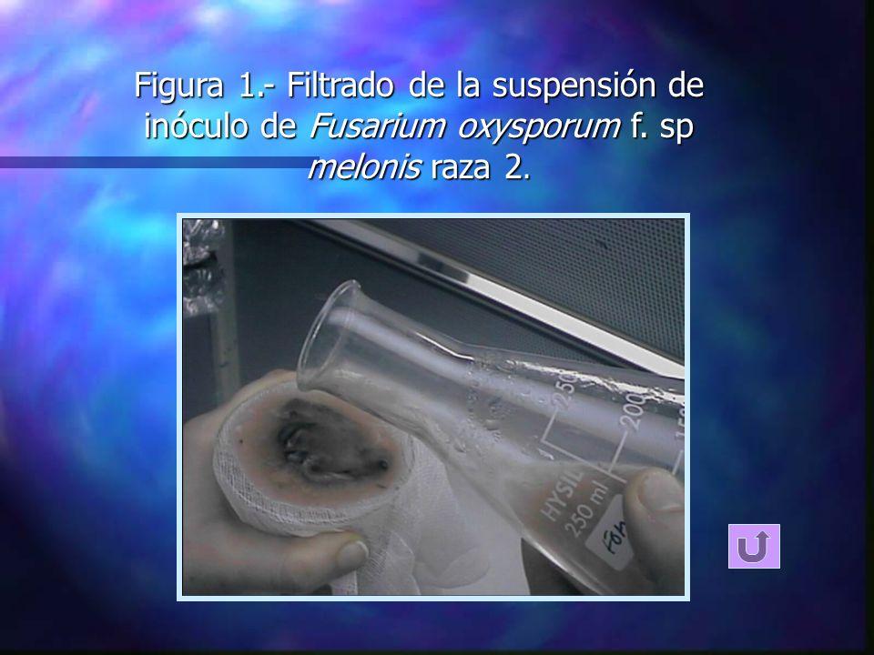Figura 1.- Filtrado de la suspensión de inóculo de Fusarium oxysporum f. sp melonis raza 2.