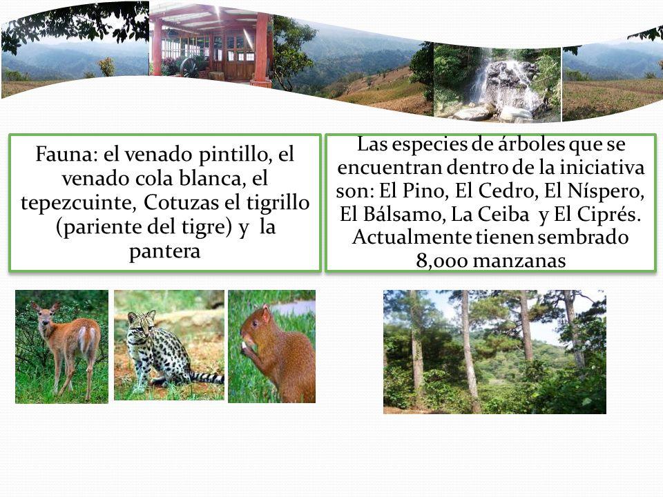 Fauna: el venado pintillo, el venado cola blanca, el tepezcuinte, Cotuzas el tigrillo (pariente del tigre) y la pantera
