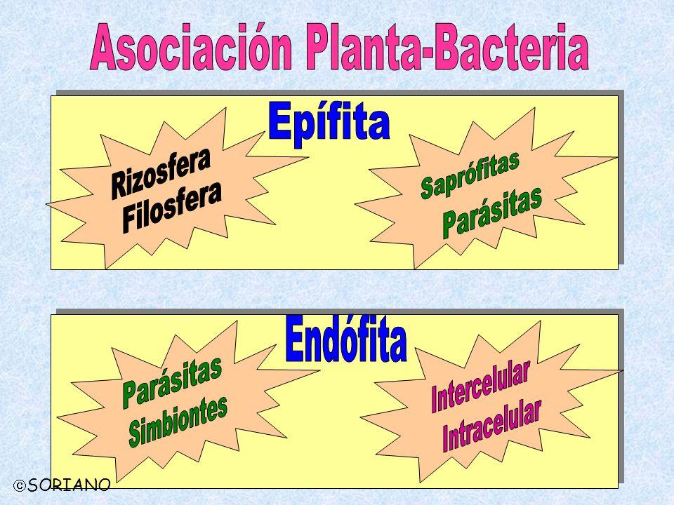 Asociación Planta-Bacteria