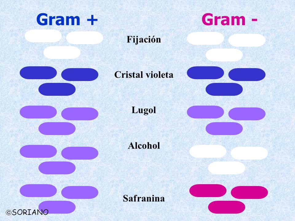 Gram + Gram - Fijación Cristal violeta Lugol Alcohol Safranina