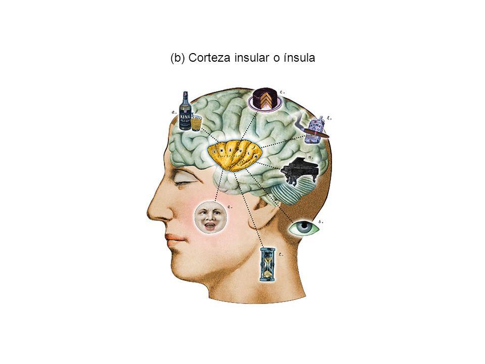 (b) Corteza insular o ínsula