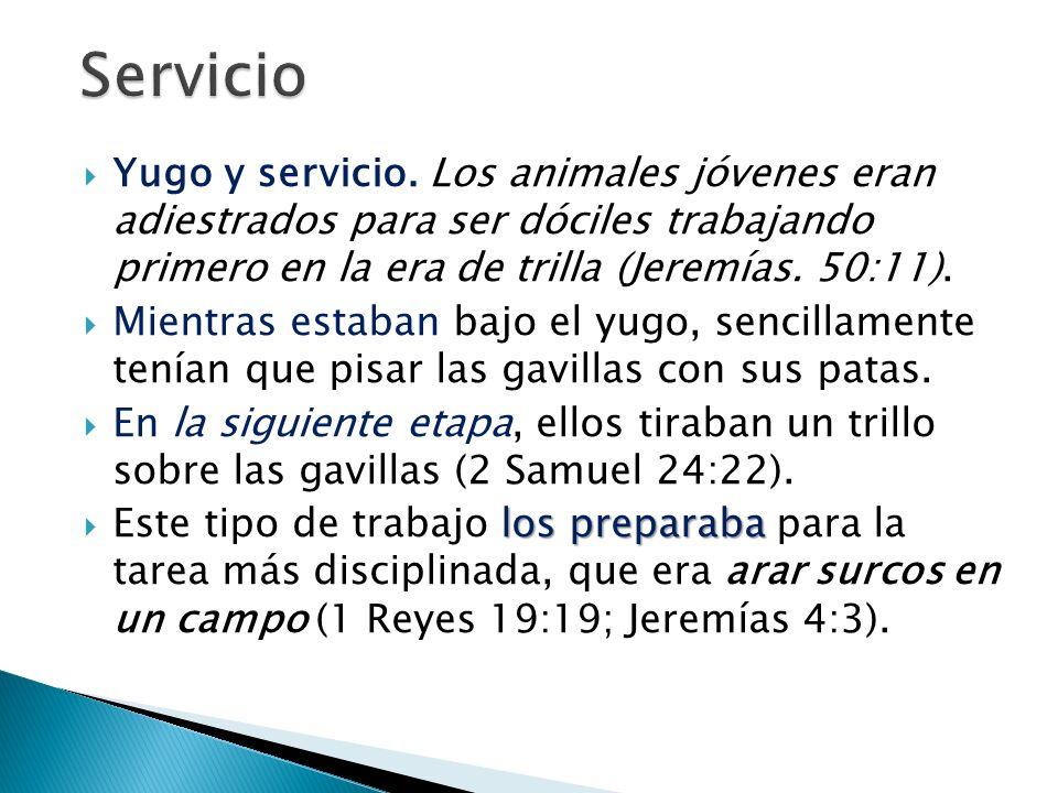 Servicio Yugo y servicio. Los animales jóvenes eran adiestrados para ser dóciles trabajando primero en la era de trilla (Jeremías. 50:11).
