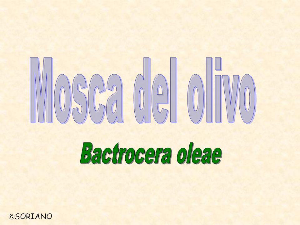 Mosca del olivo Bactrocera oleae