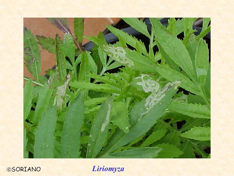 Liriomyza