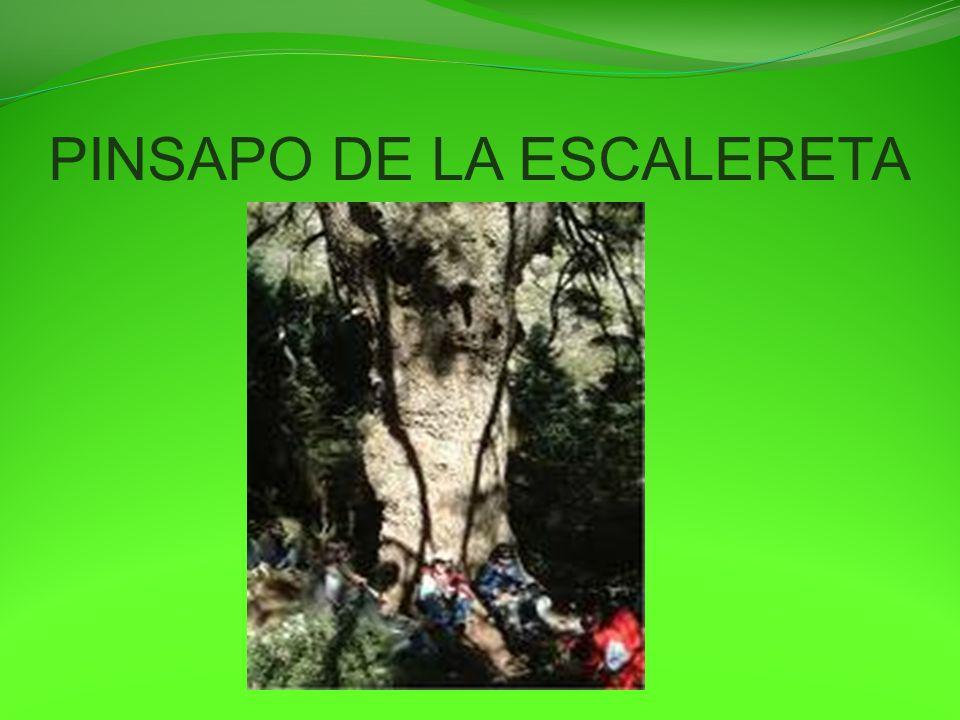 PINSAPO DE LA ESCALERETA