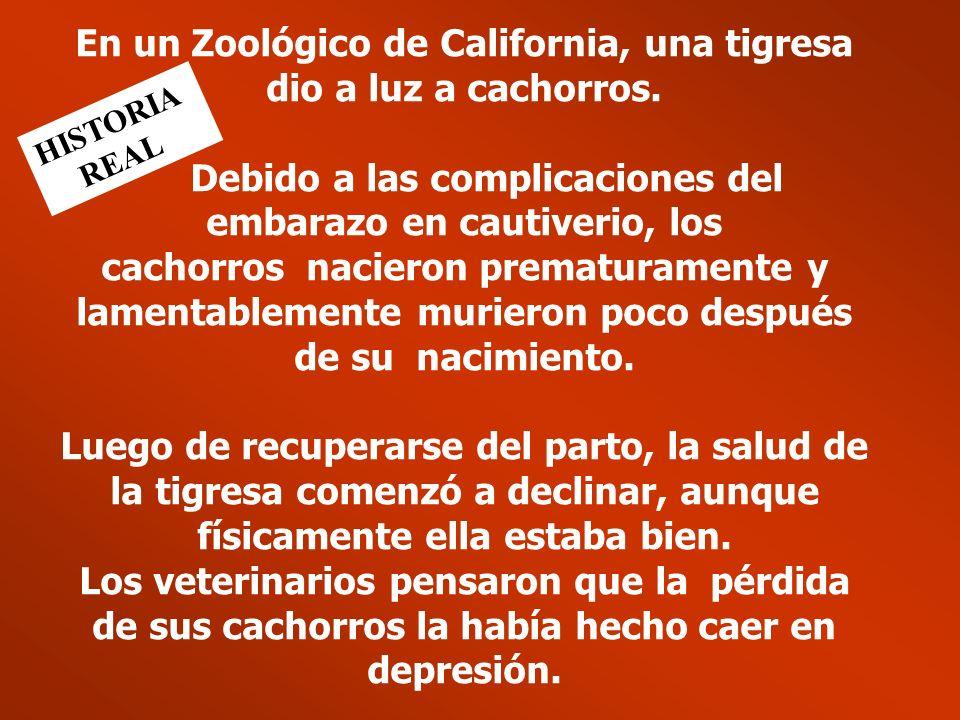 En un Zoológico de California, una tigresa dio a luz a cachorros