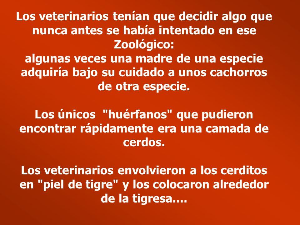 Los veterinarios tenían que decidir algo que nunca antes se había intentado en ese Zoológico: algunas veces una madre de una especie adquiría bajo su cuidado a unos cachorros de otra especie.
