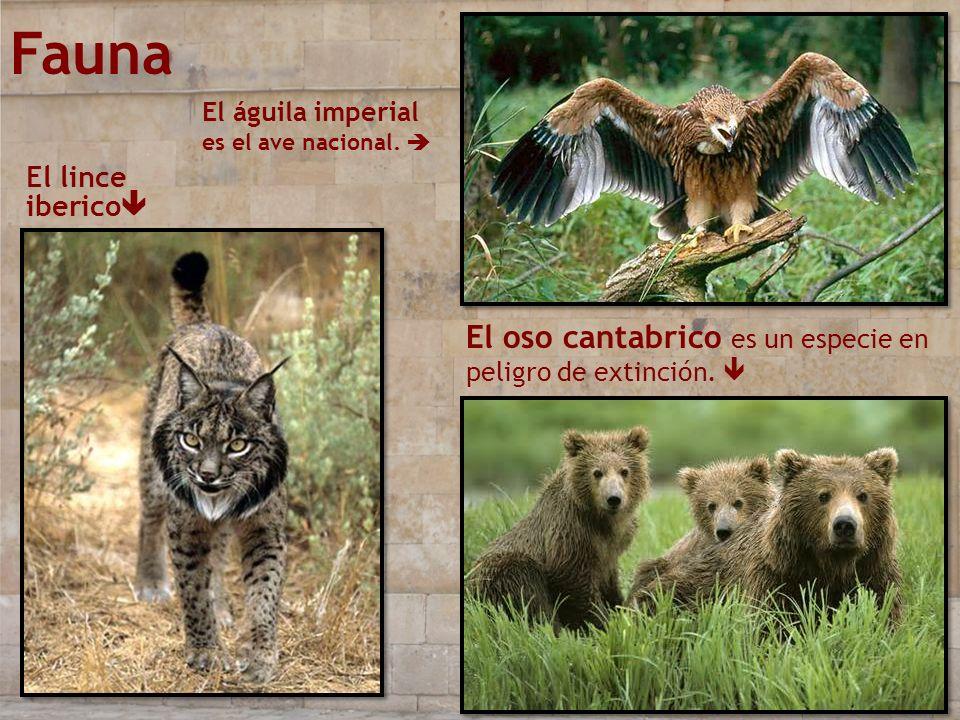 Fauna El oso cantabrico es un especie en peligro de extinción. 