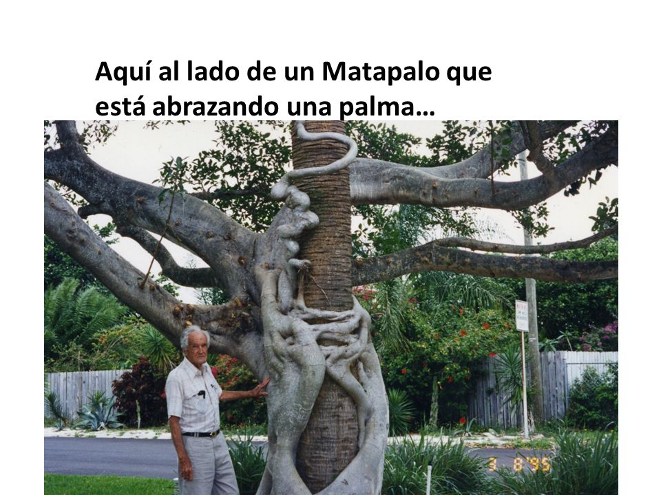 Aquí al lado de un Matapalo que está abrazando una palma…