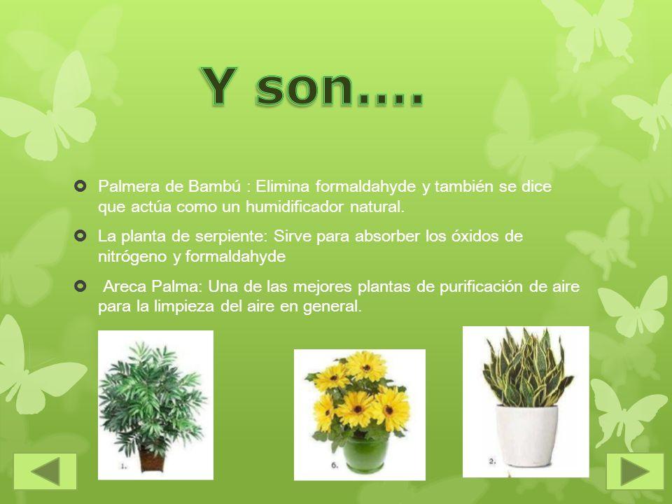 Y son…. Palmera de Bambú : Elimina formaldahyde y también se dice que actúa como un humidificador natural.