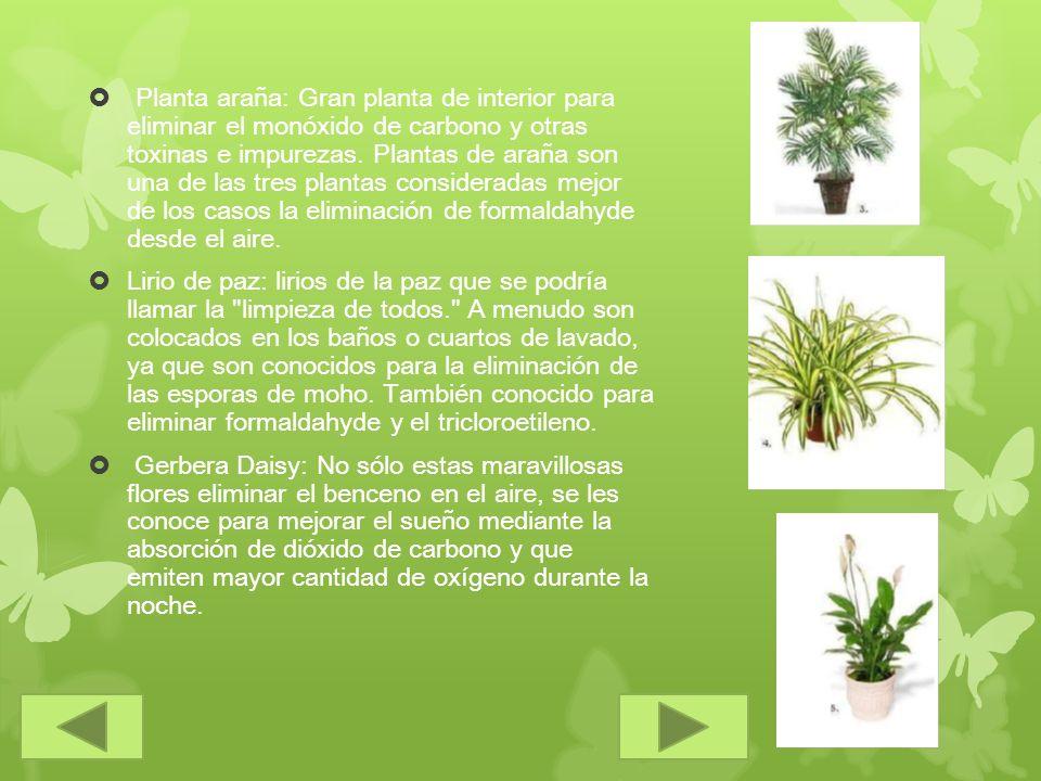 Planta araña: Gran planta de interior para eliminar el monóxido de carbono y otras toxinas e impurezas. Plantas de araña son una de las tres plantas consideradas mejor de los casos la eliminación de formaldahyde desde el aire.