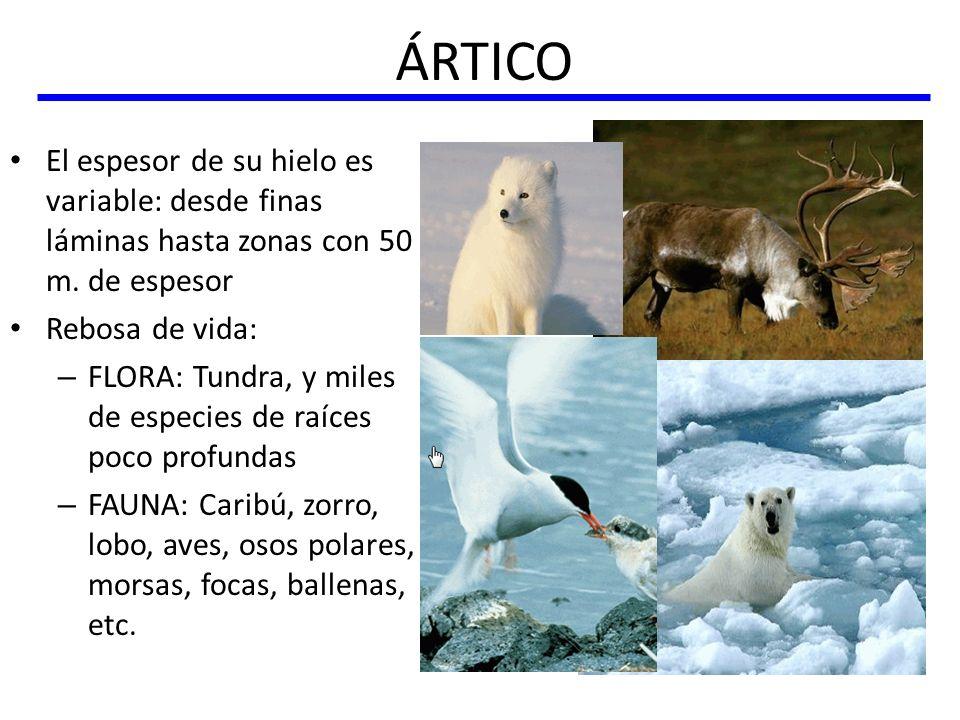ÁRTICO El espesor de su hielo es variable: desde finas láminas hasta zonas con 50 m. de espesor. Rebosa de vida: