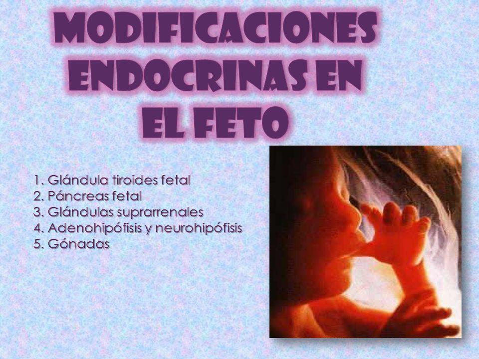 MODIFICACIONES ENDOCRINAS EN EL FETO 1. Glándula tiroides fetal