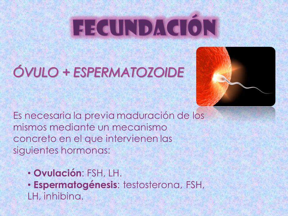 FECUNDACIÓN ÓVULO + ESPERMATOZOIDE