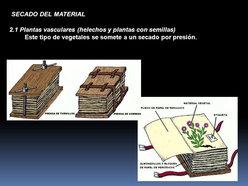 SECADO DEL MATERIAL 2.1 Plantas vasculares (helechos y plantas con semillas) Este tipo de vegetales se somete a un secado por presión.