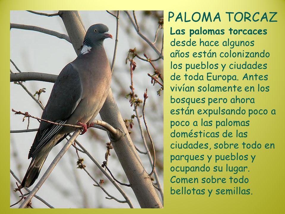 PALOMA TORCAZ