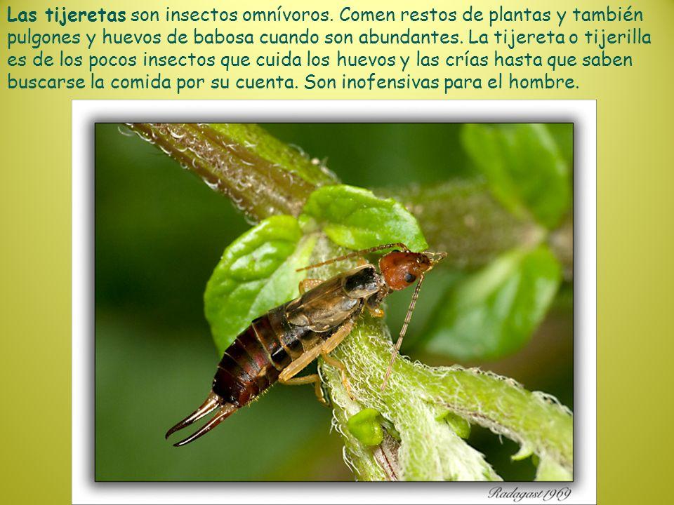 Las tijeretas son insectos omnívoros