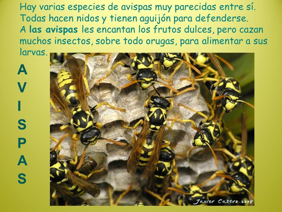 Hay varias especies de avispas muy parecidas entre sí