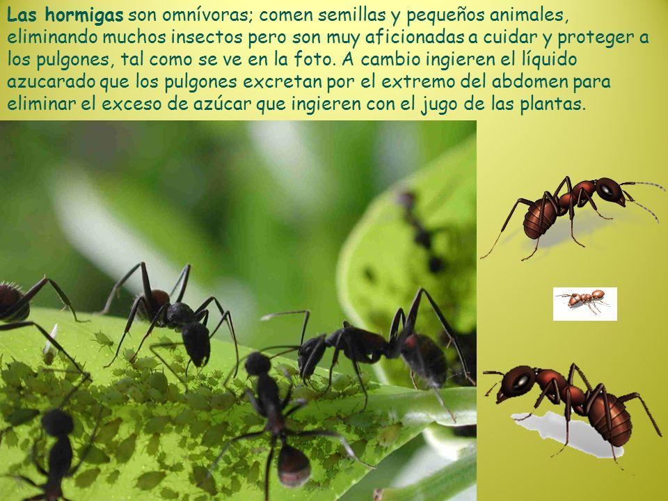 Las hormigas son omnívoras; comen semillas y pequeños animales, eliminando muchos insectos pero son muy aficionadas a cuidar y proteger a los pulgones, tal como se ve en la foto.