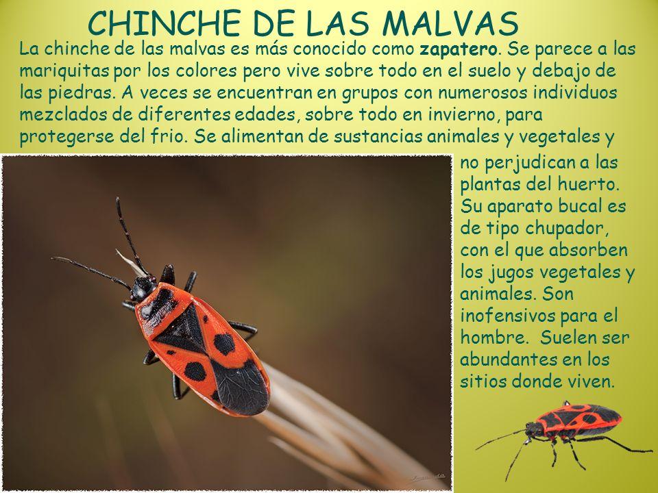 CHINCHE DE LAS MALVAS
