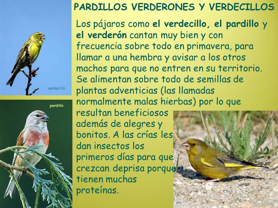 PARDILLOS VERDERONES Y VERDECILLOS