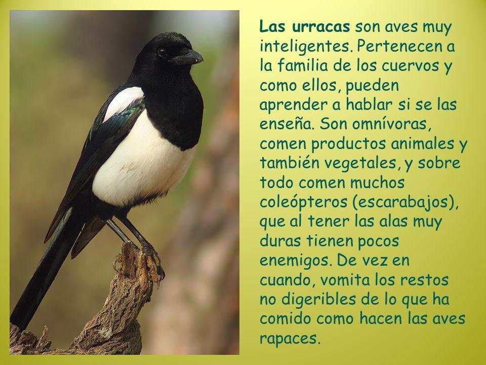 Las urracas son aves muy inteligentes