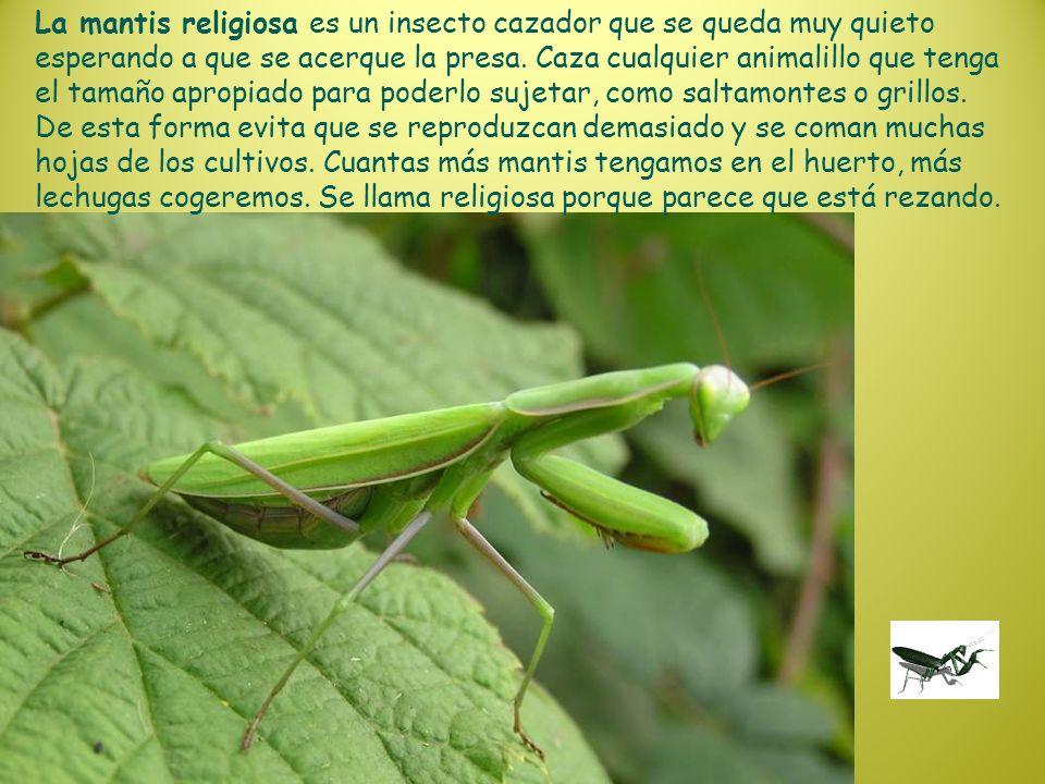 La mantis religiosa es un insecto cazador que se queda muy quieto esperando a que se acerque la presa.