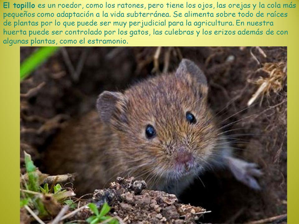 El topillo es un roedor, como los ratones, pero tiene los ojos, las orejas y la cola más pequeños como adaptación a la vida subterránea.