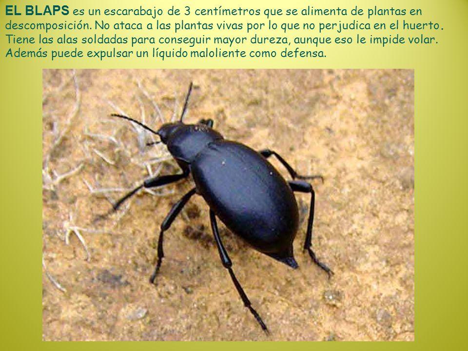EL BLAPS es un escarabajo de 3 centímetros que se alimenta de plantas en descomposición.