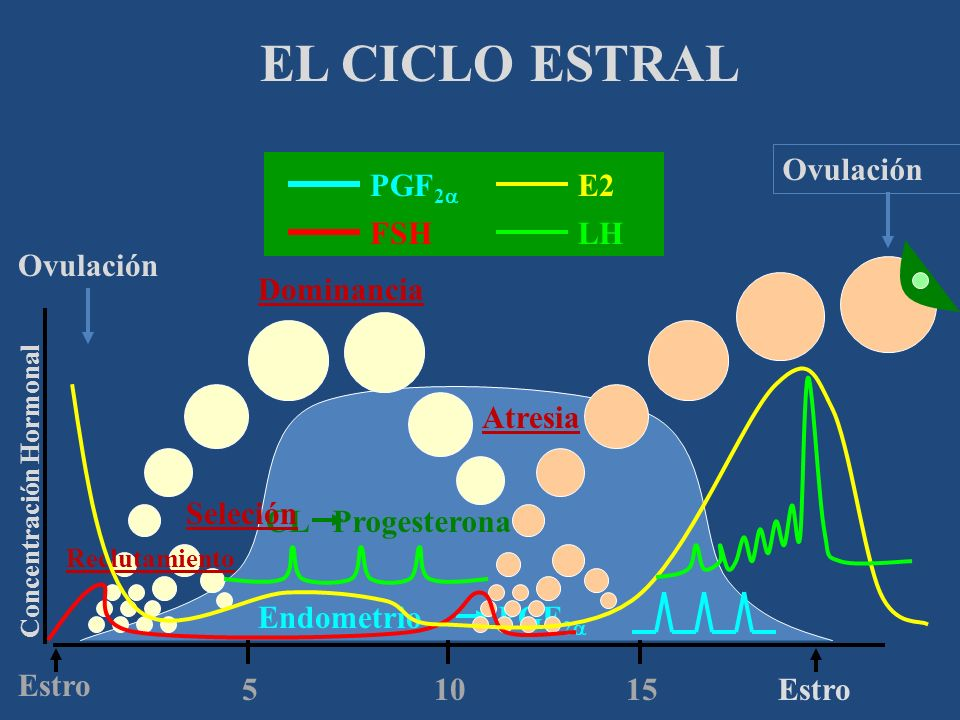 EL CICLO ESTRAL Ovulación PGF2a E2 FSH LH Ovulación Dominancia Atresia