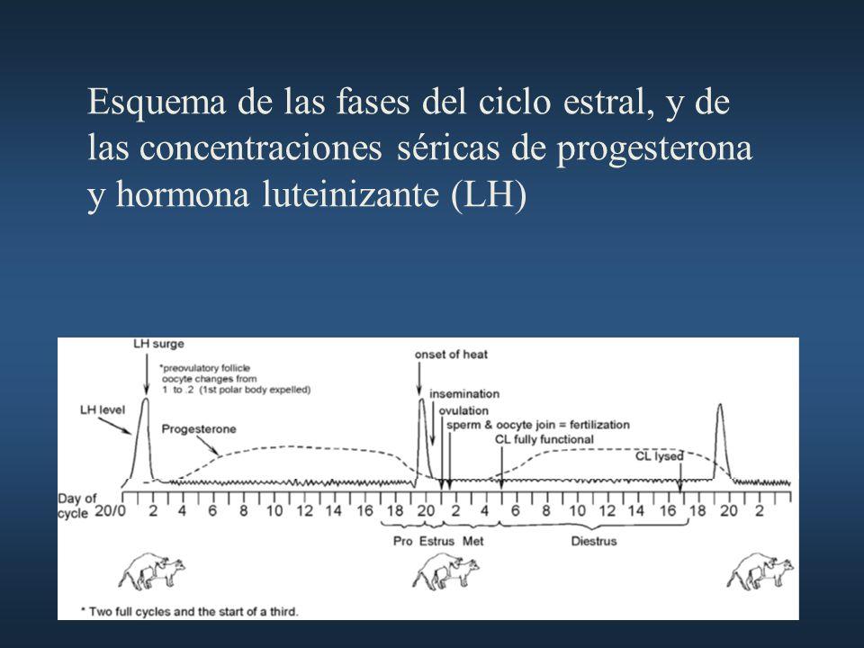 Esquema de las fases del ciclo estral, y de las concentraciones séricas de progesterona y hormona luteinizante (LH)