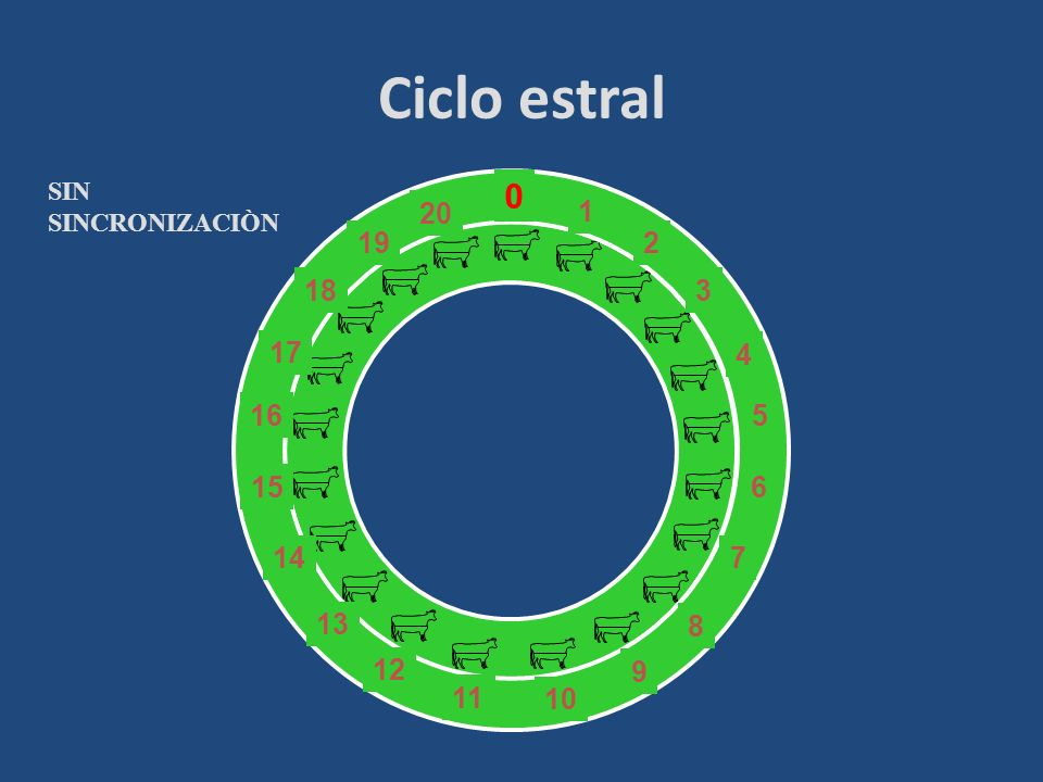 Ciclo estral SIN SINCRONIZACIÒN 6 7 8 9 10 11 12 13 15 14 1 2 3 4 5 20 19 18 17 16 30