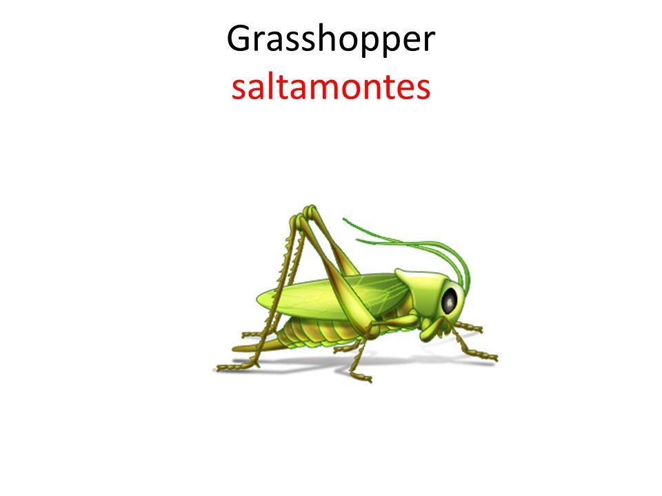 Grasshopper saltamontes