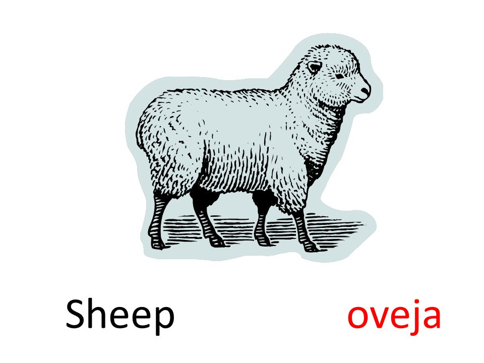 Sheep oveja