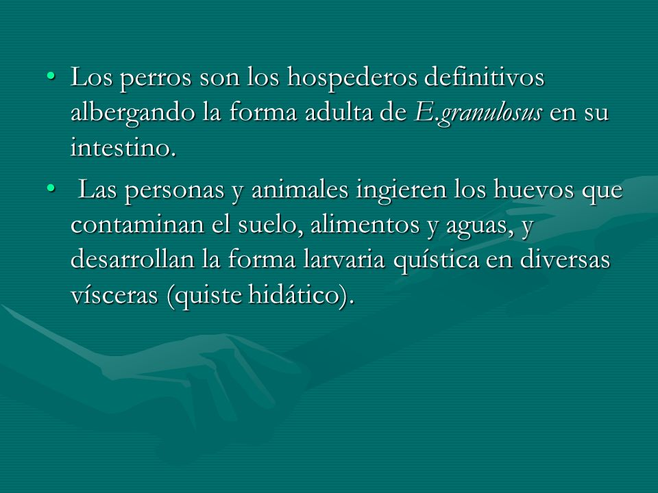 Los perros son los hospederos definitivos albergando la forma adulta de E.granulosus en su intestino.