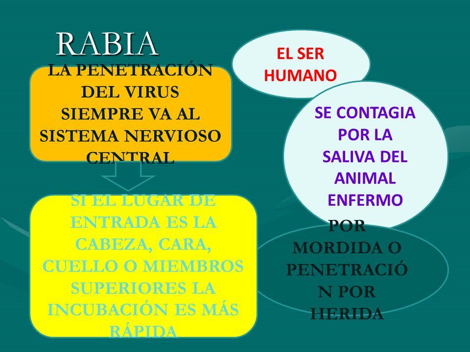 RABIA EL SER HUMANO. LA PENETRACIÓN DEL VIRUS SIEMPRE VA AL SISTEMA NERVIOSO CENTRAL. SE CONTAGIA POR LA SALIVA DEL ANIMAL ENFERMO.