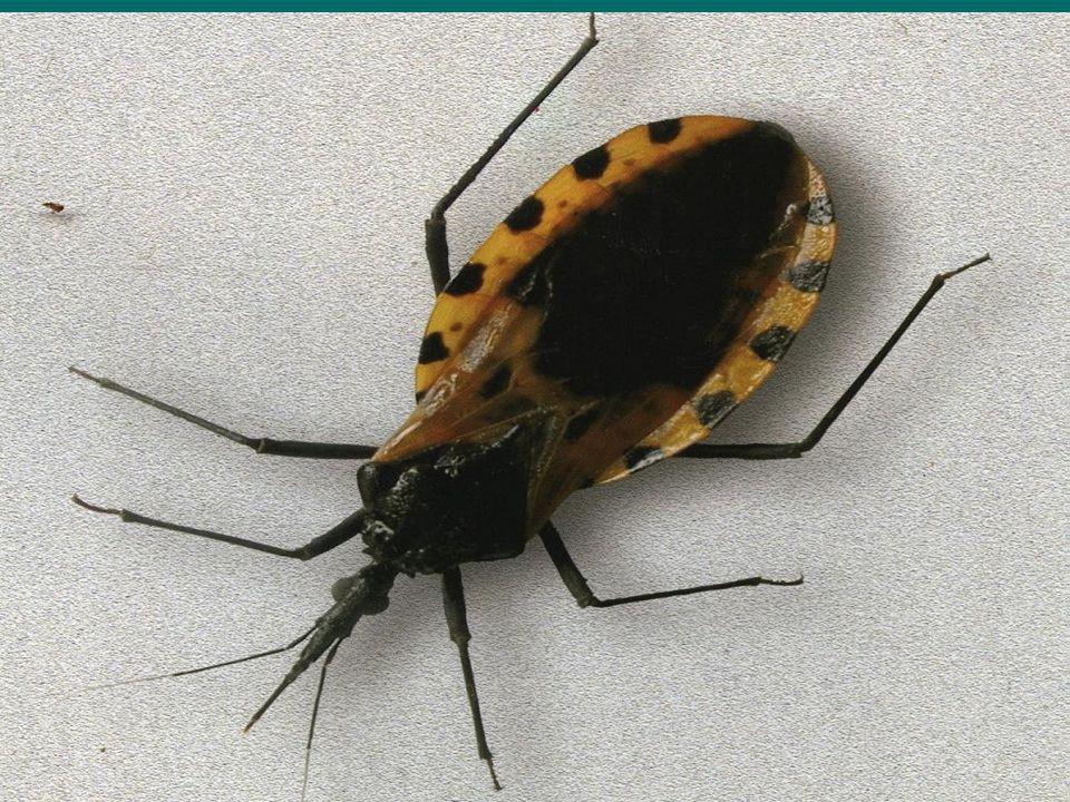 Enfermedad de Chagas o Tripanosomiasis Americana.