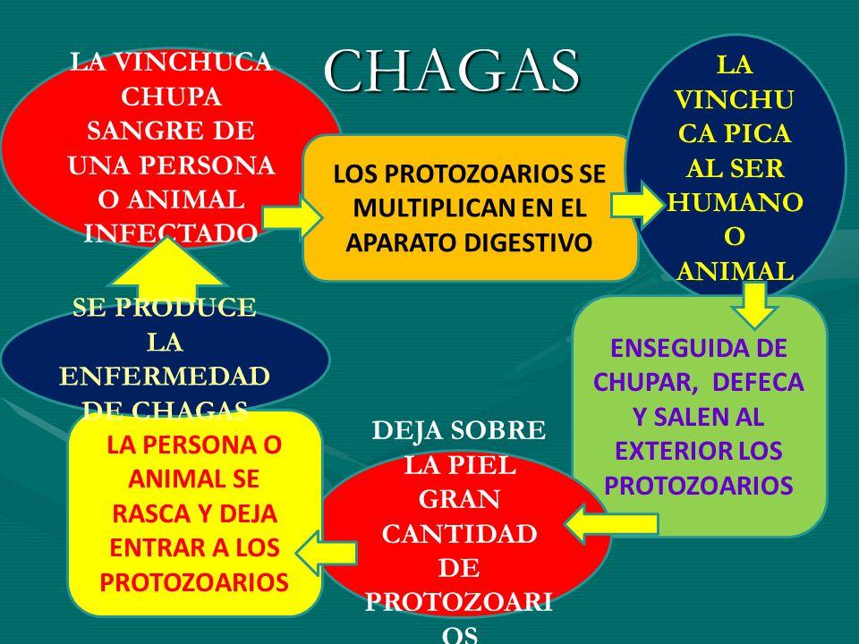 CHAGAS LA VINCHUCA PICA AL SER HUMANO O ANIMAL