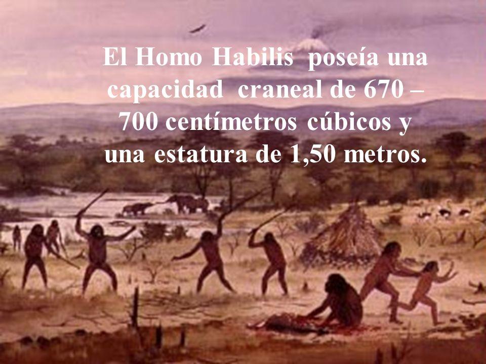 El Homo Habilis poseía una capacidad craneal de 670 – 700 centímetros cúbicos y una estatura de 1,50 metros.