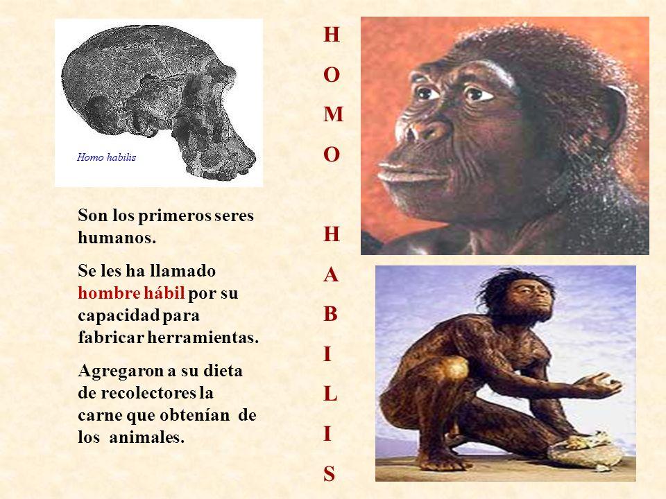 H O M A B I L S Son los primeros seres humanos.