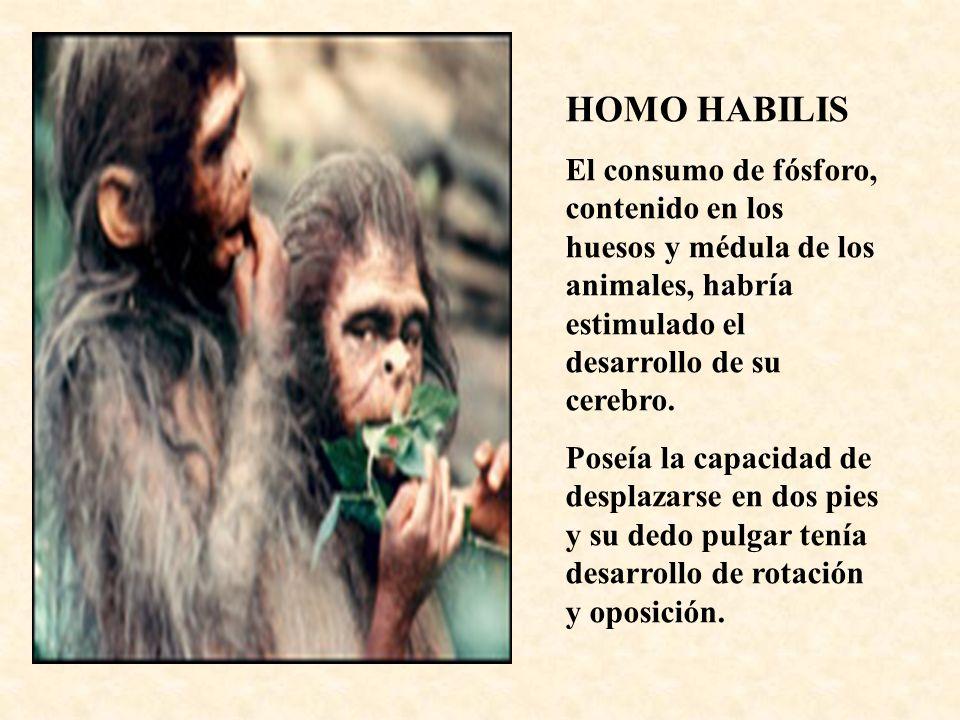 HOMO HABILIS El consumo de fósforo, contenido en los huesos y médula de los animales, habría estimulado el desarrollo de su cerebro.