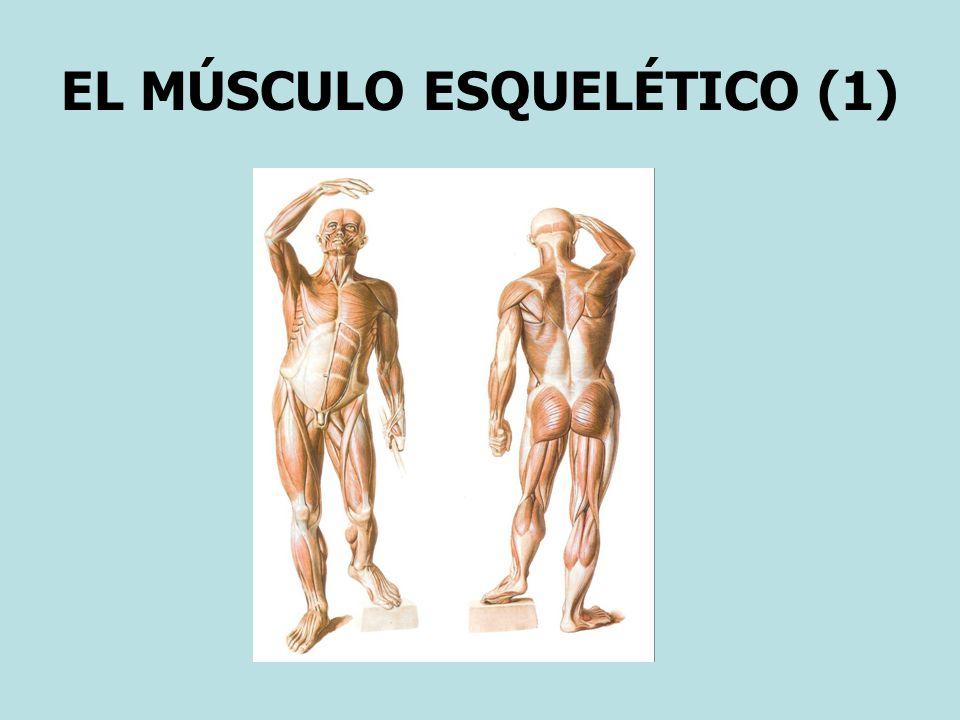 EL MÚSCULO ESQUELÉTICO (1)